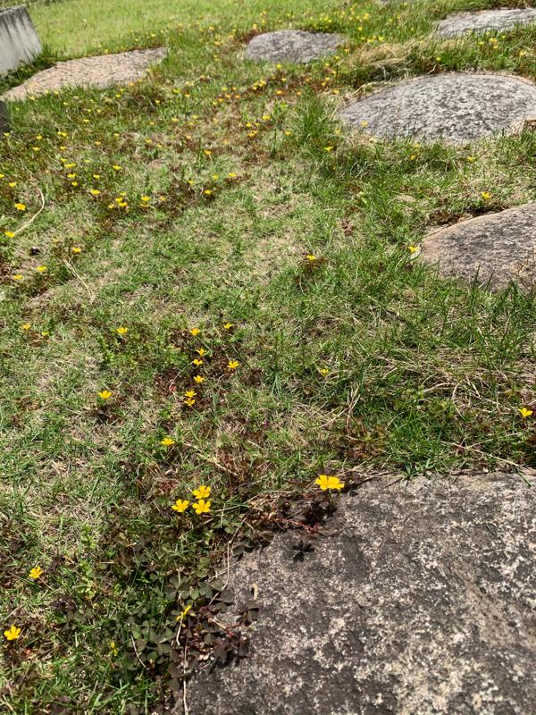 芝生の筈が…お花畑